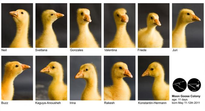portraits of young goslings with their astronaut-inspired names